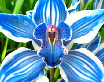 Rare Blue Orchid Flower Seeds. Qty. 20 Seeds