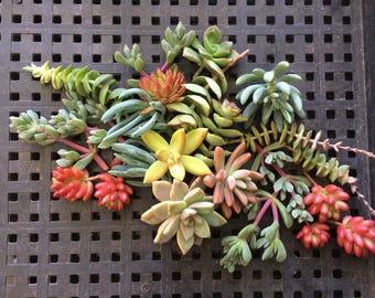Succulent Cuttings, Succulent WEDDING FAVORS, Succulent Plants, Centerpiece, Garden, Mothers Day Gift