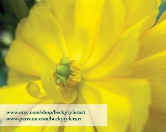 Ranunculus Flower Fine Art Photo Print
