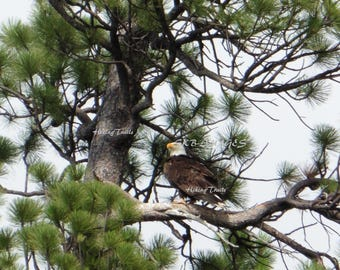 Bald Eagle In the Pines, DIGITAL DOWNLOAD, wildlife decor, raptor art, eagle wall art, wildlife art, Fine Art Photography
