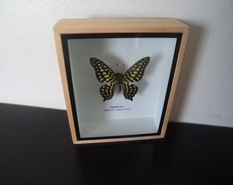 Real Butterfly Tailed Jay Shadow Box Display  Taxidermy Lepidoptera Entomology Zoology