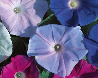 AIP) TALL MIX Morning Glory~Seeds!~~~~10' of Fabulous Color!!!