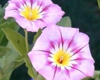 AIPCO) ENSIGN ROSE Convolulus~Seeds!~~~~Vivid Tricolor!!