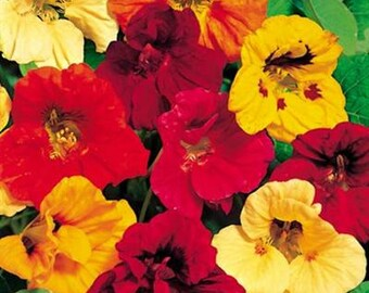 ANA) GLEAM Hyb. MIX Nasturtium~Seeds!!!~~~~~Long Vines!