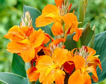 Tropical Canna Flower, Canna Lily Flowers, Container Gardening Canna Flower, A Perfect Housewarming Gift