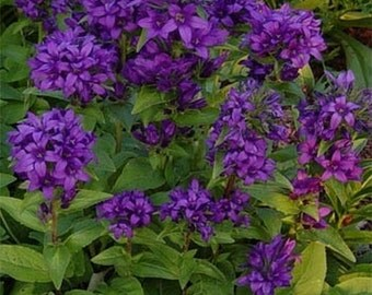 Bellflower-Superba (Campanula Glomerata)- 50 Seeds