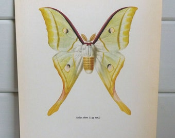 Vintage Moth Print circa 1965 by Prochazka, wall decor, Book Plate