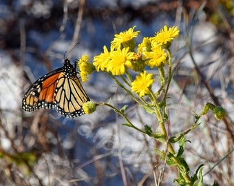 Monarch Butterfly Photograph // Butterfly Photography // Florida Nature Photograph Print