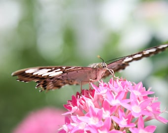 Butterfly Sipping Nectar
