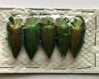 Wholesale 5 x Chrysodema ssp -  Taxidermy - Unmounted - Ready To Rehydrate - Artwork