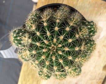 Cactus Plant. Medium Echinobivia Rainbow Bursts. A beautiful cactus with many offsets.