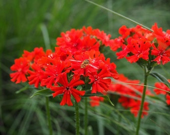 SAVE STRAY CATS: Lychnis Chalcedonica (Silene Chalcedonica) seeds