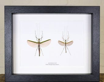 Pink Winged Stick Insect Pair in Box Frame (Necroscia sp)