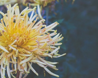 Yellow Flower Photography, Yellow Home Dcor, Still Life Art, Close up Photograph, Chrysanthemums, Yellow Mums Flower Print, Nature Landscape