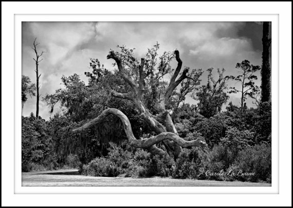 NAKED OAK ~ Live Oak Tree ~ Louisiana Fine Art ~ Nature Photography ~ Landscape Photography ~ Infrared photography ~ 12 x 18 format