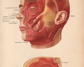 1905 face, head muscles, tendons & ligaments print - Human anatomy physiology, medical wall decor - 112 yr old victorian illustration (C614)