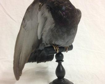 taxidermy rock dove