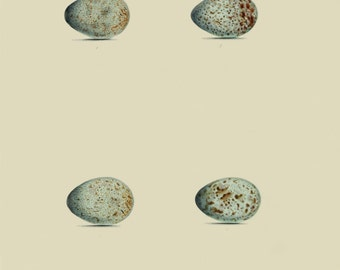 Bird's eggs - reproduction of an old zoological illustration