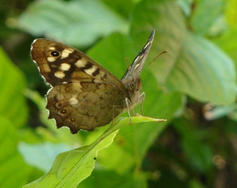 Butterfly Speckled Wood (Pararge aegeria), Nature Photography