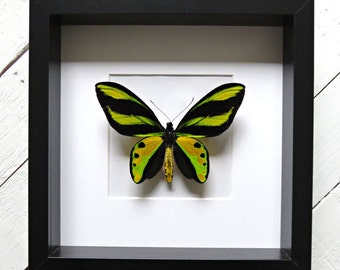 Real framed butterfly: Ornithoptera tithonus misresiana // VERY RARE // birdwing butterfly // shadowbox // green & yellow butterfly