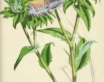 flowers-31192 - stokesia cyanea, Cartesia centauroides, Stokesia laevis, Stokes' aster vintage digital illustration of plant picture floral