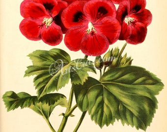 flowers-15406 - pelargonium red flower vintage digital illustration picture image graphics floral botanical public domain image book page