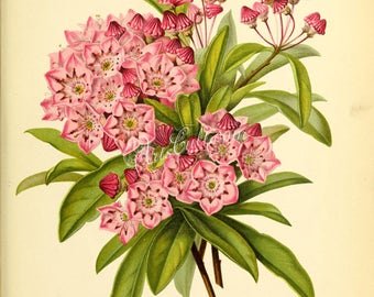 flowers-28050 - kalmia latifolia pavarti,  mountain laurel, calico-bush, spoonwood broadleaved evergreen shrub plant digital illustration