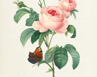 Pink Rose Flower Print - Rose Art Print - Botanical Print Flower Art - Garden - Redoute Art - Rosa Centifolia - Provence rose - cabbage rose