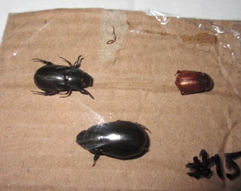 3 Dried Beetles