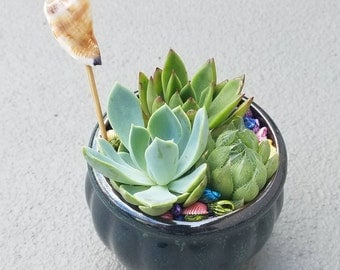 Succulent Arrangement with Colored Shells