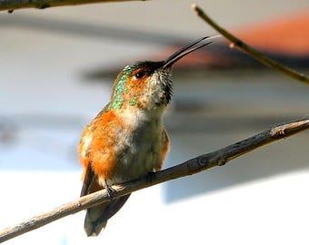Hummingbird - Nature, Wildlife Photography, Fine Art, Wall Print, Canvas, Large Print