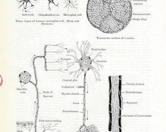 Human Anatomy Vintage Medical Anatomy Illustration - Details of Nerve Tissue PSS 0496
