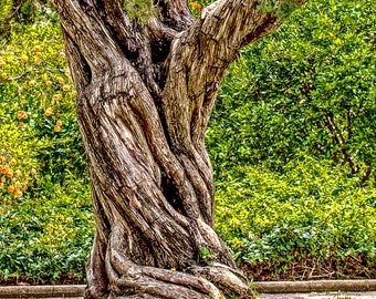 Twisted Tree Photograph