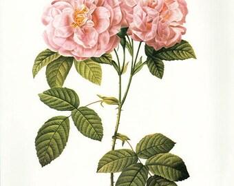 Italian Damask Rose art print vintage antique wall art pink flower art print Victorian art print antique rose art rose print prints 100