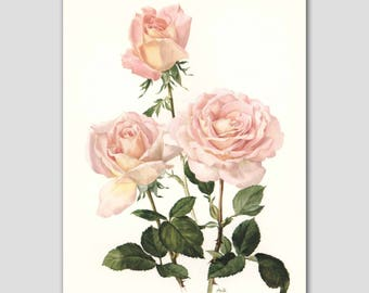 "Pink Cottage Chic, 1960s Watercolor Flower Print, Vintage Rose Botanical ""Confidence"" No. 26"
