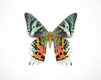 One Real Madagascar Sunset Moth Butterfly Chrysiridia rhipheus