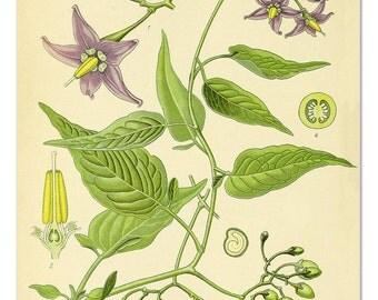 Bittersweet Nightshade Botanical Print, Botanical Art Educational Chart, Botanical Poster, Flower Wall Art, Garden Art, Poster