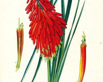 1895 Antique Kniphofia Print. Vintage Tritoma Print. Torch lily Garden Flower Spring Summer Botanical wall art