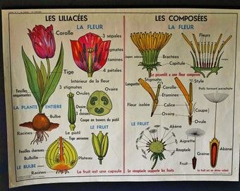 Vintage Large French School double-sided poster of the composition of a Tulip  Flower / Oak Tree.//Gifts for Him // Gifts for Her// Vintage.