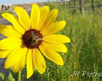 Sunflower with Bee Photograph