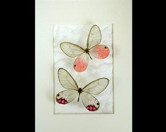 Pink Clearwing pair - Cithaerias aurorina and pyropina - Real Framed Butterflies