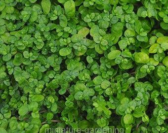 Baby Tears, Green, Soleirolia soleirolii for Miniature Garden, Fairy Garden