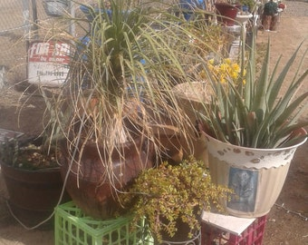 Large yucca and bulb and murune clay pot