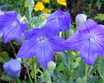 SEEDS - Dwarf Balloon Flower (platycodon grandiflorus) - perennial seeds - balloon flower seeds - spring seeds
