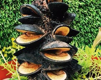Large Banksia Aemula | Banksia Pod | Austrlian Seed Pods | Nature Table | Craft