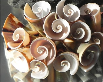 Strand - Liswe trumpet shell Beads - squirrel conch Sea Shell Shell trumpets nature