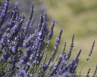 Lavender 11 - Sequim WA