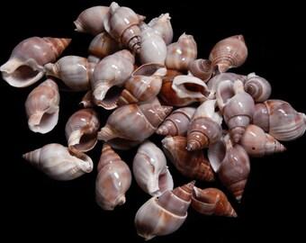"50 Beautiful Brown Marginellas Shells Seashells 3/4""-1"" Beach Wedding Crafts"