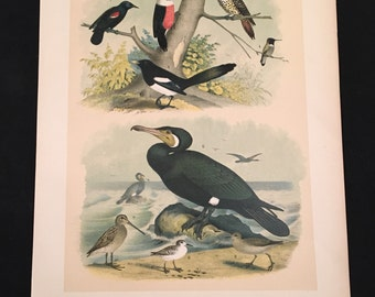 1881 Birds of North America Print - Hummingbird and Gray Snipe, Plate LXXIII, Color Lithograph by Jasper