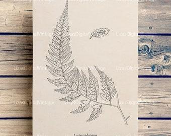 Fern print, Printable fern image, Botanical illustration, Fern art, Vintage graphics, Printable artwork, Fern clipart, PNG JPG 300dpi